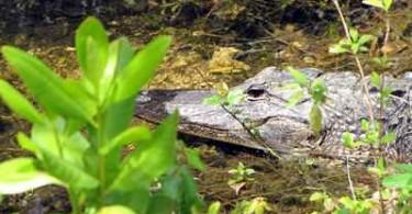 Krokodil in Florida