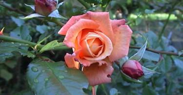 duftende Rose