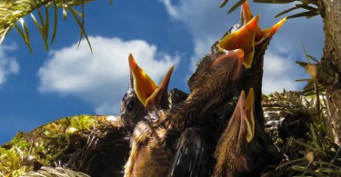hungrige Singvögel im Nest