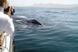 Wale Hermanus Bay