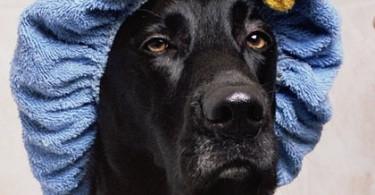 Hund-scharz-Badekappe-black-lab