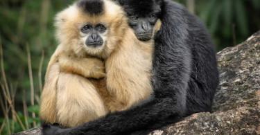 Affen-hell-dunkel-ape