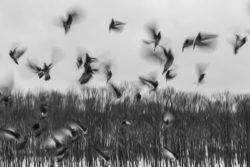tauben-zeitlupe-schwarzweiss-birds
