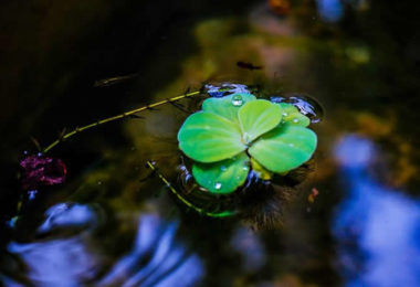 blatt-wasser-blau-duckweed
