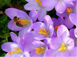 biene-auf-bluete-violett