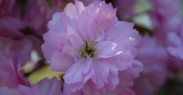 Kirschblüte
