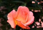 Vergebung bedeutet-duftende Rose
