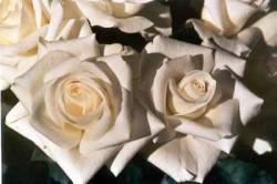 Vergebung ist wichtig weiße Rosen