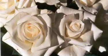weiße Rosen
