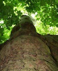 Baum und Krone