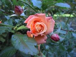 Bachblüten und Therapie duftende Rose