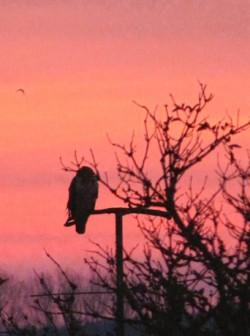 Greifvogel im Morgenlicht
