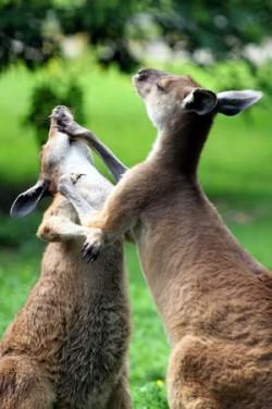 Känguruhs im Kampf