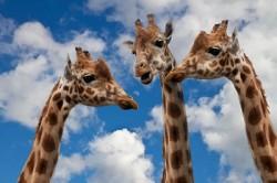 Kommunikation Giraffen im Gespräch
