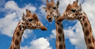 Giraffen im Gespräch
