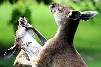 Kängurus kämpfend
