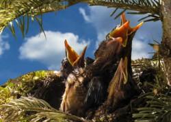 Kraft der Gedanken hungrige Jungvögel