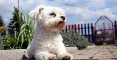 weisser Hund - Malteser