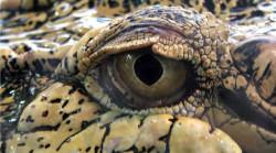 810-450-Auge-Krokodil-crocodile