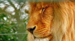 810-450-Loewe-friedlich-Augen-lion