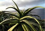 Sonne und Wasser – das ist das Lebenselixier der Aloe Vera