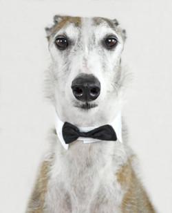 Hund-Windhund