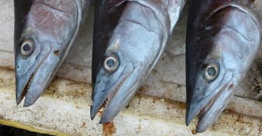 Fisch-Fischköpfe