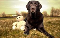 Labrador-Hase-Hund
