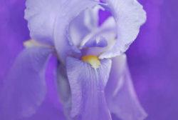 Liebe und Akzeptanz-lila-bluete-iris