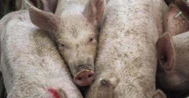 schweine-pigs