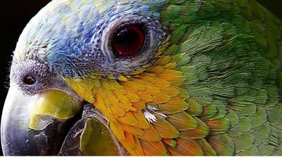 papagei-kopf