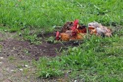 Huehner-erde-natur-chicken