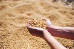 Soja-Bohnen-Haende-soybean