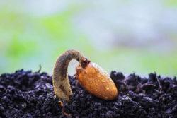 keimen-sprosse-erde-durian-seed