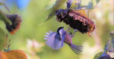 Vogel-sonnenblume-herbst-bird