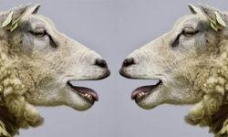 schafe-bloeken-sheep