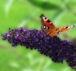 schmetterling-wilder-flieder-metamorphose-butterfly