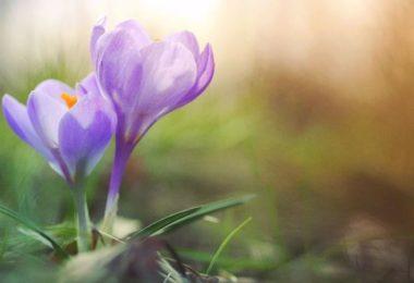 Krokus-violett