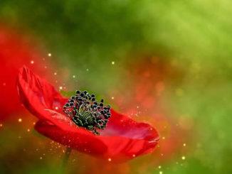 mohnbluete-SAM-Insitut-poppy