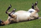 Wildpferd-weide-wohlfuehlen