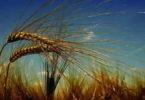 getreide-aehren-himmel-wheat