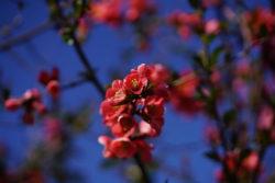 Weg ins Glück kirschbluete bill quince