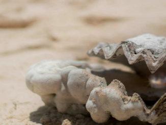 muschel-perle-shell