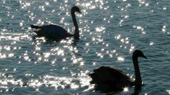 zwei-schwaene-swan