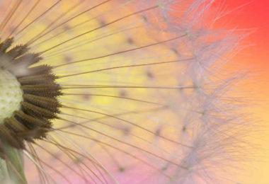 blume-dandelion