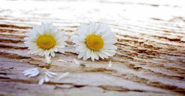 blumen-daisy