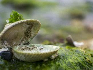muschel-clam