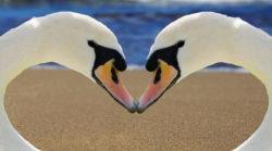 schwan-Herz-meer-swan