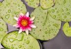 Tantra Massagen -Lotus-Teich-blaetter