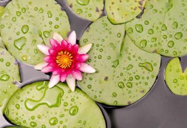 Lotus-Teich-blaetter